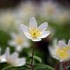 28.03.17 - Wood Anemones