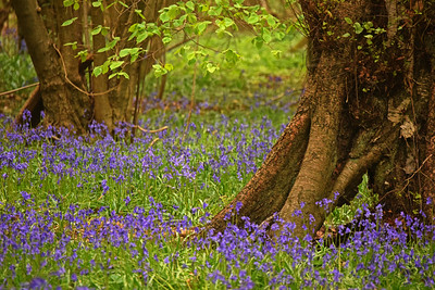 21.04.17 - Bluebell Wood
