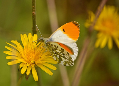 22.04.17 - Orange Tip Buttefly