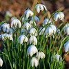 03.02.17 - First Snowdrops
