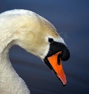 09.04.17 - Swan