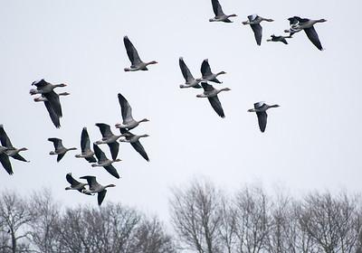 14.01.18 - Greylag Geese