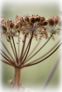 "26.07.10 - Gone to Seed (Cow Parsley)  What was once delicate and beautiful is now all dried up, and yet it retains a subtle architectural feel. Maybe this is a metaphor for all of us to consider :)  Just a reminder that if anyone wants to see where my photos are taken, click on the ""map this"" tab above and Google Maps will take you there."