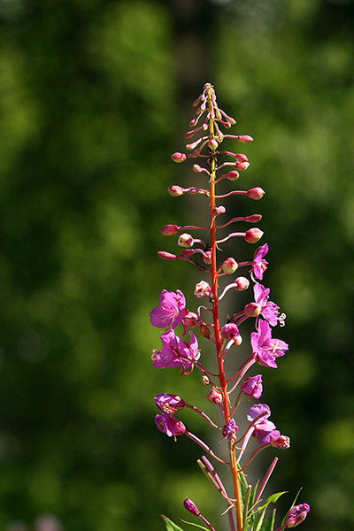 fireweed5621