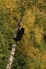 We were really lucky that Britt spotted<br /> this blackie up in the tree along the Seward Highway just past Indian.