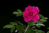 rose5446