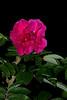 rose5449