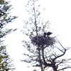 Eagle Nest with several babies