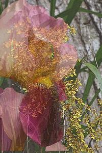 Original Iris Orchid -- my very first attempt