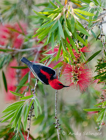 scarlet honeyeater, nature, bird.