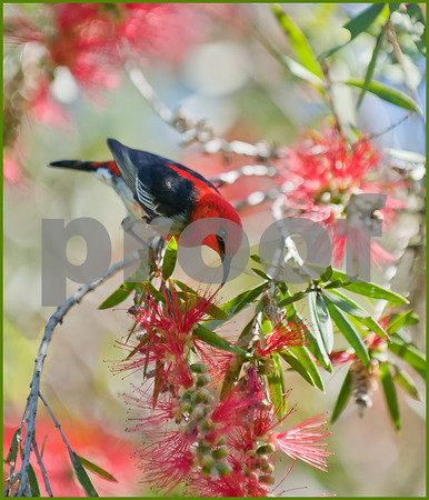 scarlet honeyeater feeding on a red bottle brush