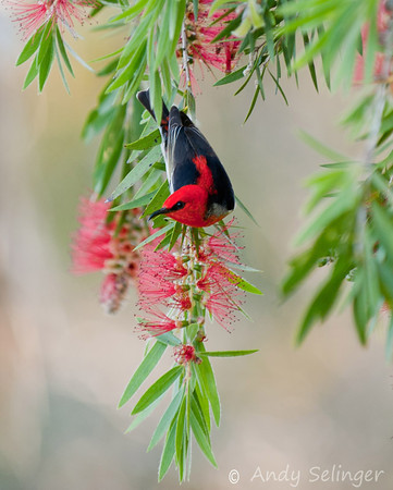 scarlet honeyeater on sandra gordon