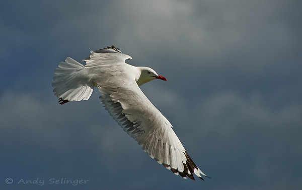 a seagull gliding in flight in the sky with clouds as background