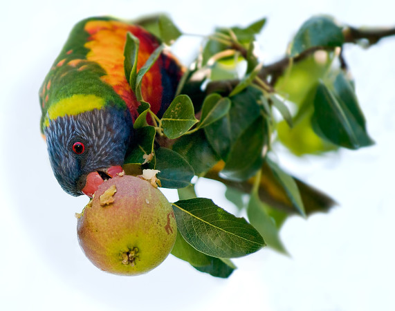 A lorikeet in Richmond, Western Sydney, is breakfasting on immature pears.