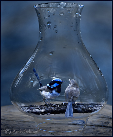 A pair of fairy wrens in a glass jar.