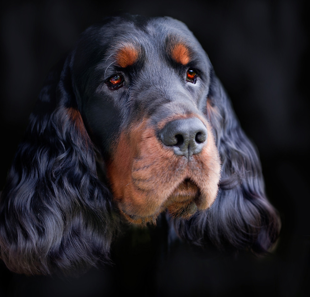 Gordon setter dog, Celtic Jai, owned by Esther Joseph, photographed at the Annual NSW Gordon Setter Show - a portrait against a black background.