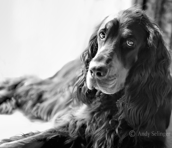 AGordon Setter, Maddie, is sitting by a window. BW