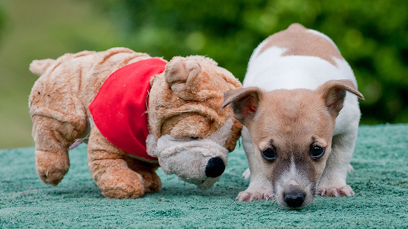 a tenterfield terrier pup is next a toy pup.