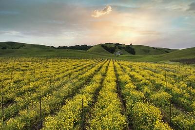El Novillero - Mustard Season