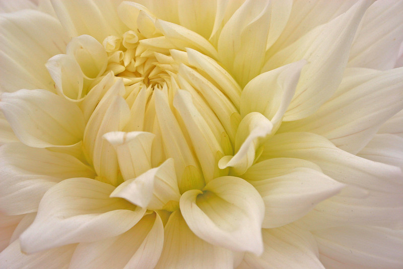 Vanilla Dream Dahlia