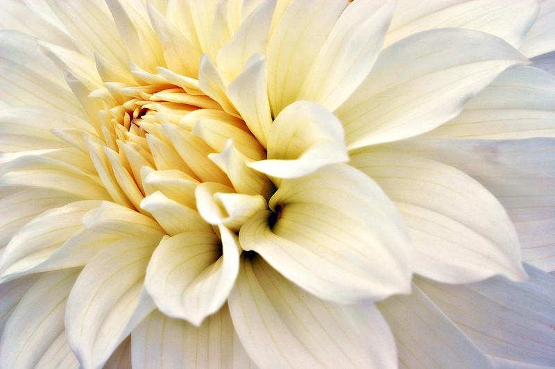 Cream Dahlia
