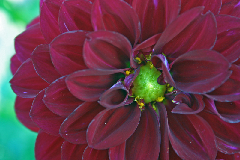 Heart Light Dahlia
