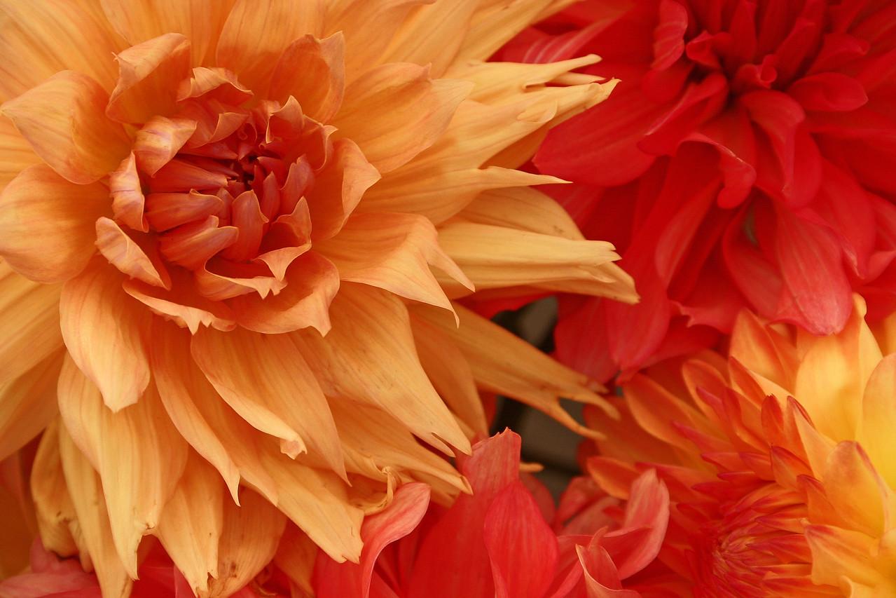 Tangerine Dream Dahlias