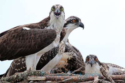 July 22.  Nest of Osprey.  After getting this close up I learned that Ospreys are born with dark blue eyes, then quickly change to deep orange, and then over time become yellow.  Eye color changes as they mature and can serve as a means of determining age, and some say the eye color change denotes the reaching of sexual maturity.