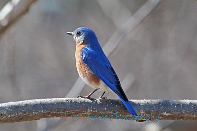 April 8.  Another Bluebird, different bird, different location.  Driving by, the blue had me stop to snap a picture, especially since he was facing the sun.  Thanks for making this a Top 5 photo of the day!