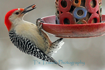 Jan.29. Red Bellied Woodpecker stopped by the feeder for a little nibble. Thanks for making this a top 5 daily pic! Yay-the good news is I'm not relying on cell phone pics anymore, the bad news is my external drive that holds my life in pictures had to be shipped out to the geek squad for recovery.  Let's hope they can salvage most of it.
