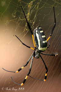 Daily photo for May 2, 2010 (View the image in its  original gallery):  Golden orb weaver spider - Sabi Sabi, South Africa ... March 15, 2010 ... Photo by Rob Page III