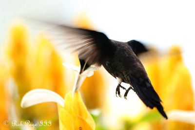 Daily Favorite for December 16, 2011  --  A hummingbird - Medellin, Colombia ... October 22, 2011 ... Photo by Rob Page III
