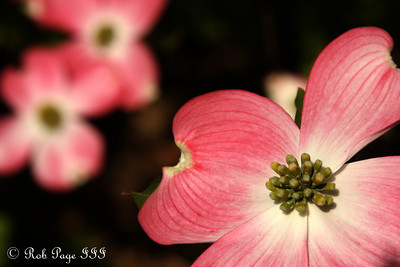 Daily Favorite for May 3, 2012  Thank you for all the nice comments yesterday.  Here is another photo where I played with the depth of field.  This dogwood flower is from my first trip to the National Arboretum.  I've lived in DC for about 10 years now and this was my first time over there.  Not sure how I missed it for so long.    A dogwood in bloom at the National Arboretum - Washington, DC ... April 1, 2012 ... Photo by Rob Page III