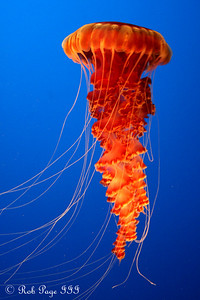 Daily photo for August 6, 2009:  A sea nettle at the Monterey Aquarium - Monterey, CA ... March 11, 2009 ... Photo by Rob Page III