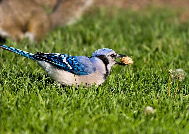 May 5th<br /> <br /> 'Nother day and no sqs. I was actually wantng a shot of the Eurasian  Collared-Dove that has been showing up for the last week or so. They aren't suppose to be here, but it looks too big for a Ringed T-Dove.<br /> This Jay was just getting ready to launch, the next shot, burst mode, was 'nothin but air'. Actually managed to keep all the tail in the shot.
