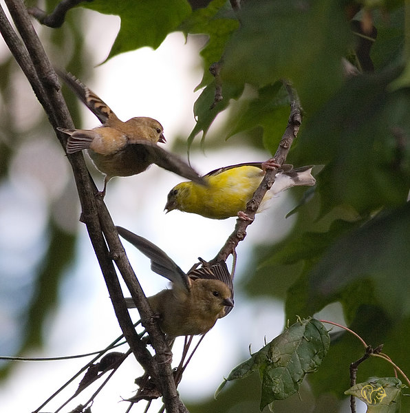 """Sept 24th<br /> <br /> Adult male Goldfinch and two youngsters in the process of being fed and being shown how to 'do it' on their own. Bit of noise in the BG, no time to make any adjustments to the camera, still pleased with the shot:-)<br /> <br /> One for the road, these guys will be gone soon<br /> <br /> <a href=""""http://thusie.smugmug.com/gallery/1833352/2/97643116/Large"""">http://thusie.smugmug.com/gallery/1833352/2/97643116/Large</a>"""