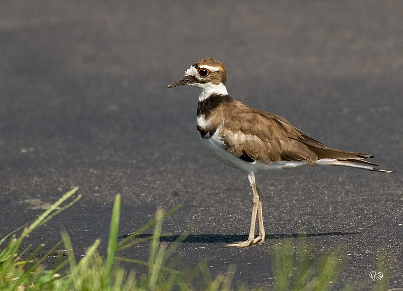 "Aug 3rd<br /> <br /> Another first, young Killdeer. As we were getting ready to leave our groundhog release site this youngster was walking up the driveway.<br /> <br /> Other shot below and first ever, so-so, hummingbird shots click backwards:-)<br /> <br /> <a href=""http://thusie.smugmug.com/gallery/1239814/9/85791418/Large"">http://thusie.smugmug.com/gallery/1239814/9/85791418/Large</a>"