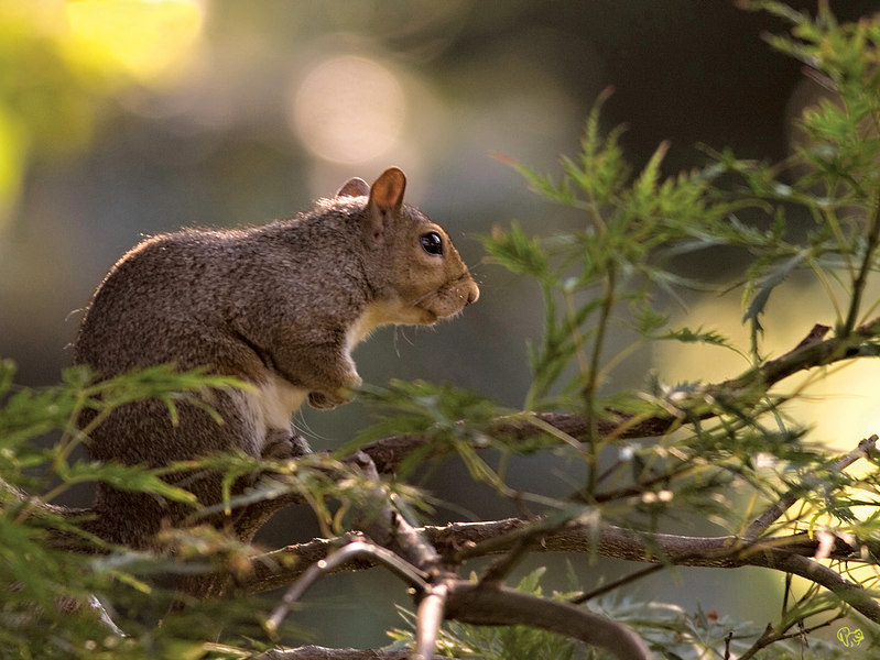 July 24th<br /> <br />  Morning Light<br /> <br /> Another shot I have been trying for. <br /> <br /> This squirrel starts her day,here, enjoying the morning sun as it starts peeking through the trees.