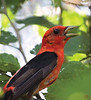 Aug 2nd<br /> <br /> Scarlet Tanager