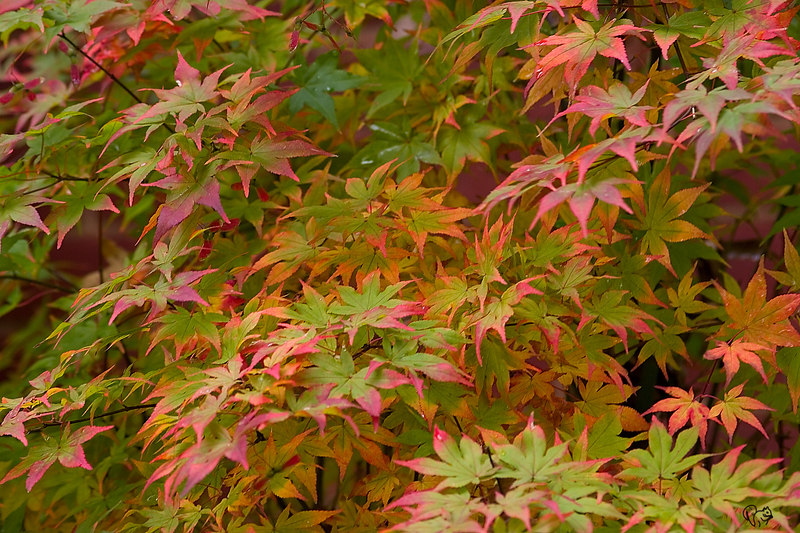 Oct 19th<br /> <br /> Since the biggie trees aren't really doing much, here is one of the jewels of fall, Japaneses Maple Ukigumo. One of my favs and if you hold your mouth just right, in spring it flushes with white leaves with hints of pink and green.