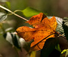 "Oct 3rd<br /> <br />  Maple leaf in the garden.<br /> <br /> <br /> My favorite shot below and a couple extras<br /> <br /> <a href=""http://thusie.smugmug.com/gallery/1599309/3/99814900/Large"">http://thusie.smugmug.com/gallery/1599309/3/99814900/Large</a>"