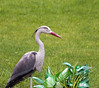 "July 12th<br /> <br /> Great Blue Heron<br /> Ardea herodias<br /> <br /> After and hour of careful stalking, watching the light. my perfect shot! I have never had a heron stay so still when I approched. Just amazing.<br /> <br /> here are a couple 'other' GBH shots<br /> <a href=""http://thusie.smugmug.com/gallery/1239814/7/81315979/Large"">http://thusie.smugmug.com/gallery/1239814/7/81315979/Large</a><br /> <br /> New sq shots up for any sq fix"