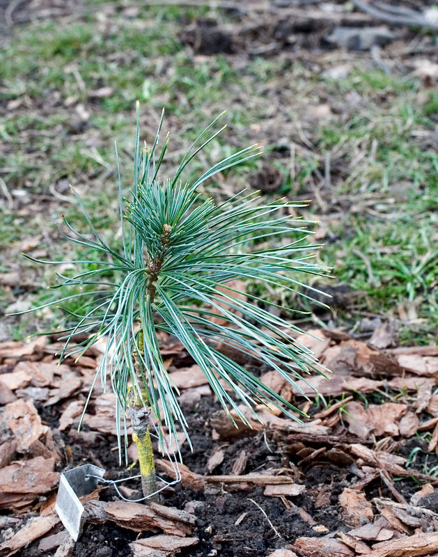Pinus koraiensis 'Morris Blue'<br /> <br /> March 9th<br /> Swiped this off the conifer page, trying to get all of them up on the site before more roll in. This is another one that is just cute.