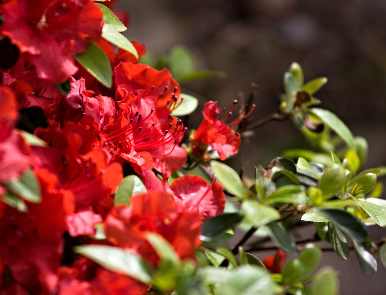 May 7th<br /> <br /> Flora shots today. This Azalea is so loaded with blooms and the color so red, had to share it with you.