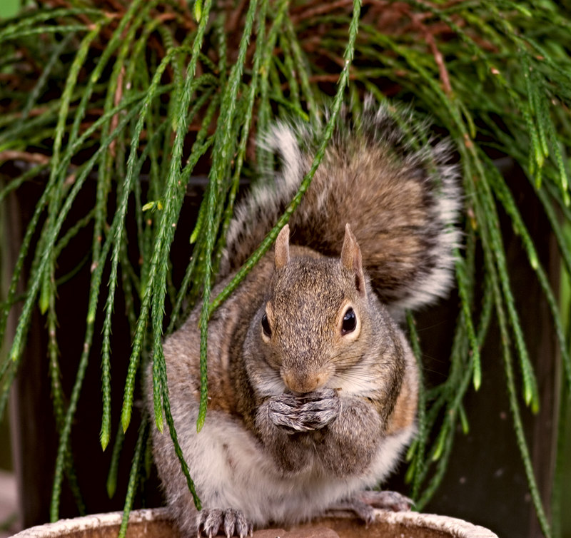 """April 22nd<br /> <br /> The funky conifer the female is under is called Whipcord. Don moved it to the table where the sqs eat so he could mow. Couldn't make up my mind between this one and this one. No birds to much going on.<br /> <br /> <a href=""""http://thusie.smugmug.com/gallery/1254348/3/65887977/Large"""">http://thusie.smugmug.com/gallery/1254348/3/65887977/Large</a>"""