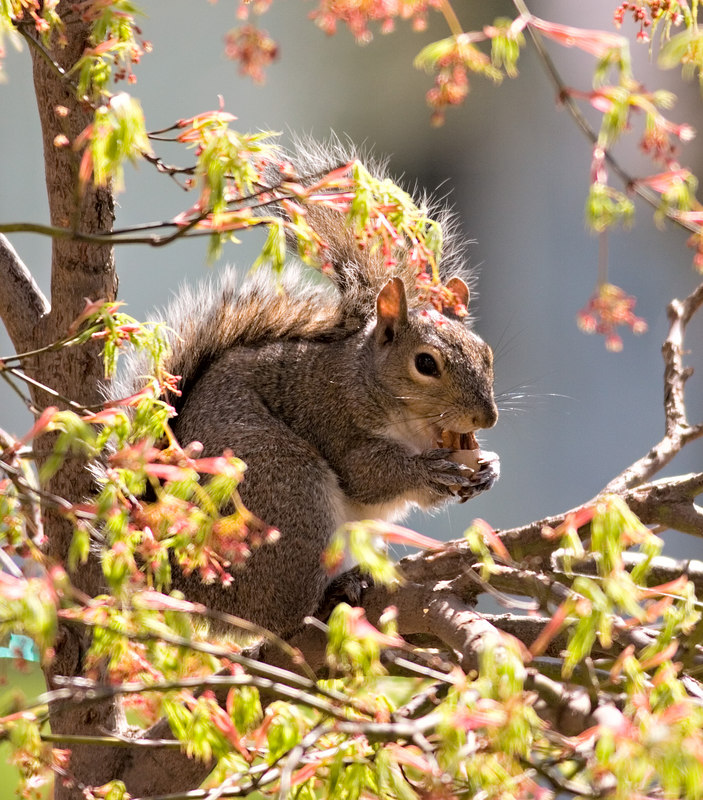 April 18th<br /> <br /> Another 'just liked it' shot. This one squirrel thinks this Japanese Maple is 'his' and it annoys Don to no end. The Virdis while not the showiest of the maples is Don's favorite, this squirrel keeps it artfully pruned.