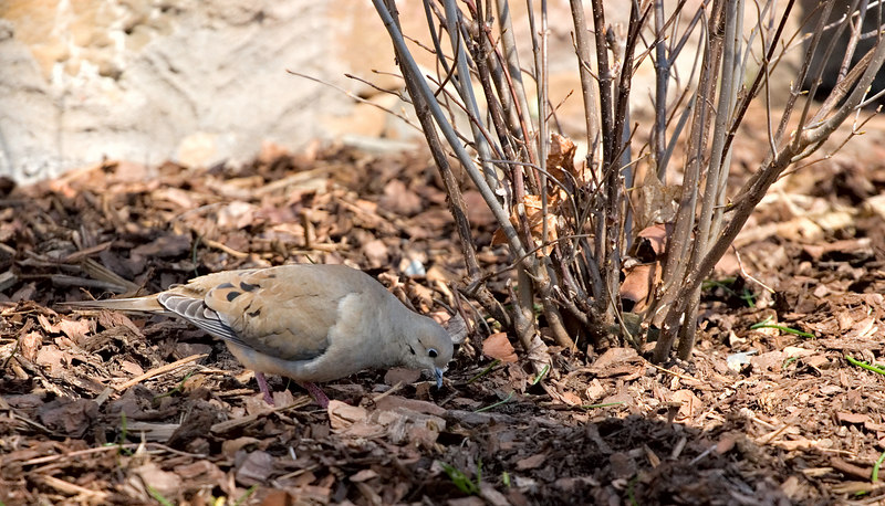 March 17th<br /> <br /> I think I'm in a rut, another dove shot.