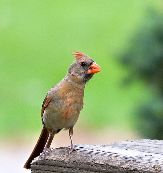 """July 2nd<br /> <br /> This is the other half of the guy below. Not near a flashy as the male. In the bird world (most species) it takes two to raise a successful clutch.<br /> <br /> An Evil Grackle for Chandi:-)<br /> <br /> <a href=""""http://thusie.smugmug.com/gallery/1239814/6/79124864/Large"""">http://thusie.smugmug.com/gallery/1239814/6/79124864/Large</a><br /> <br /> And for anyone that feels the slightest need for a sq fix...<br /> <br /> <a href=""""http://thusie.smugmug.com/gallery/1254348/8/79124520/Large"""">http://thusie.smugmug.com/gallery/1254348/8/79124520/Large</a>"""