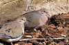 March 15th<br /> <br /> Nesting pair most likely. Doves are by far the sloppiest nest builders going. Usually one pair will try and build a nest on one of the second floor windowsills. Bring two sticks, wind blows sticks off, repeat.