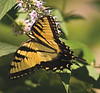 "Aug 16th<br /> <br /> It's not  Monarch! Wanted one of these to show up, did, I'm happy.<br /> <br /> Couple extra shots here<br /> <br /> <a href=""http://thusie.smugmug.com/gallery/1254609/7/88624030/Large"">http://thusie.smugmug.com/gallery/1254609/7/88624030/Large</a><br /> <br /> Couple new sq shots in the usual place"